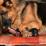 Hundewelpen Geburt