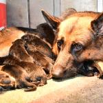 schäferhundewelpen-mit-quickly-beim-werfen